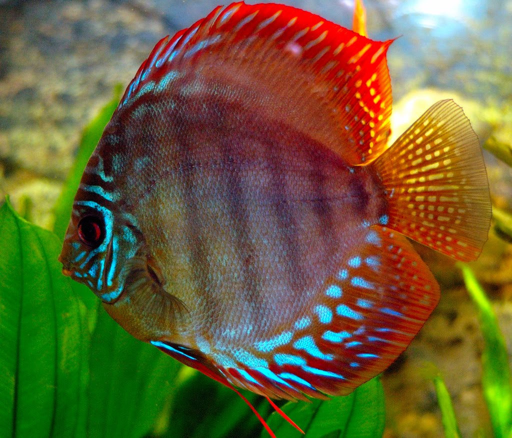 Jamie 39 S Blog Taking Care Of Discus Fish
