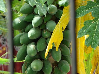 Pappaya fruit