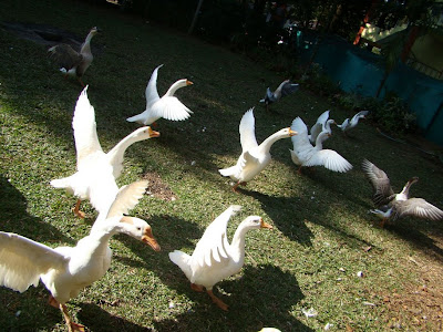 goose at yercaud hotel with wings open