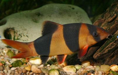 ... klasifikasi ordo cypriniformes familia cobitidae ke