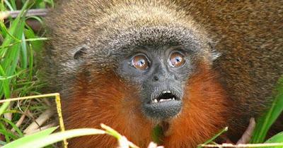 Mono zogui zogui, selva colombiana