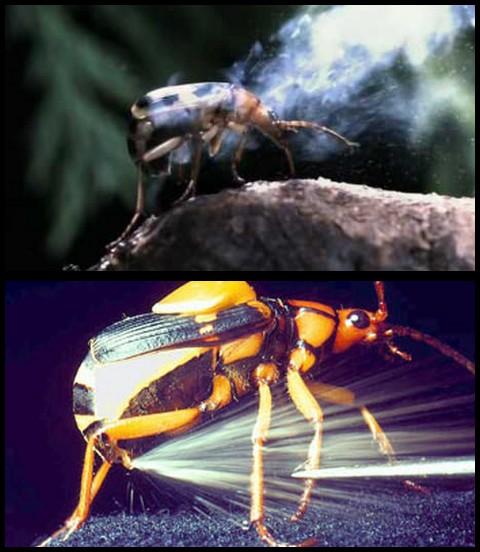 Escarabajo bombardero africano