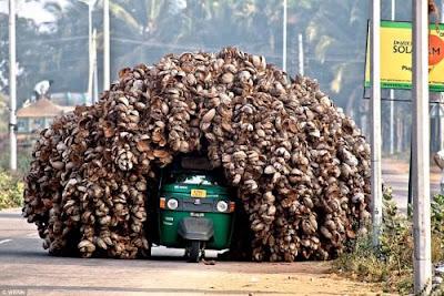 Auto Ricksha cargado con cocos