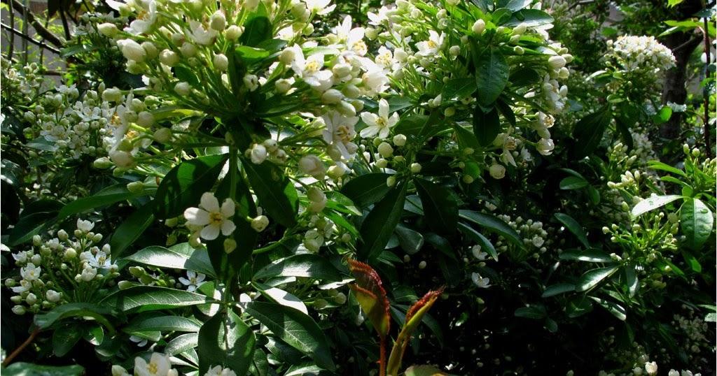 Jardin de marguerite l 39 oranger du mexique choisya ternata - Taille de l oranger du mexique ...