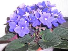 Violetas...as minhas predilectas