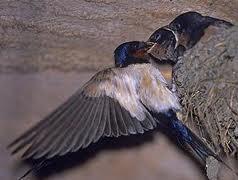 Peluang usaha - Sarang Burung Walet