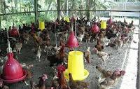 Sukses Ternak Ayam Kampung Penghasil Telur Tetas