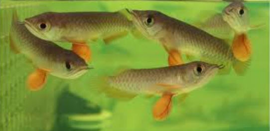 Arowana fish tank in aquarium in pond arowana business for Ornamental pond fish golden