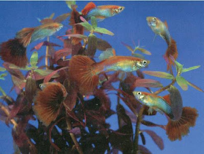 group of guppies beauty shot
