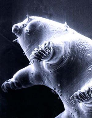 http://3.bp.blogspot.com/_ziPJWp4LX_o/S-0vTNtnb_I/AAAAAAAAEeM/3U7gcYo1aSs/s1600/tardigrade-water-bear.jpg