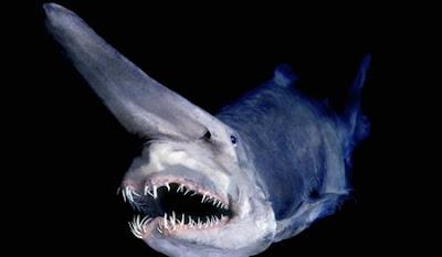 goblin+shark1 7 Binatang yang Hidup Ratusan Tahun