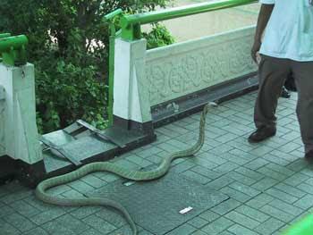 Hoax foto ular kobra berkepala lima dari Karnataka One-head-cobra-1
