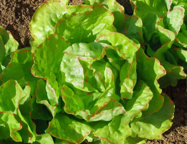 how to take care of lettuce