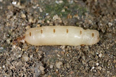 This Queen Termite will soon Create a Colony!