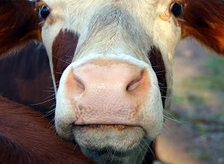 A Cow!