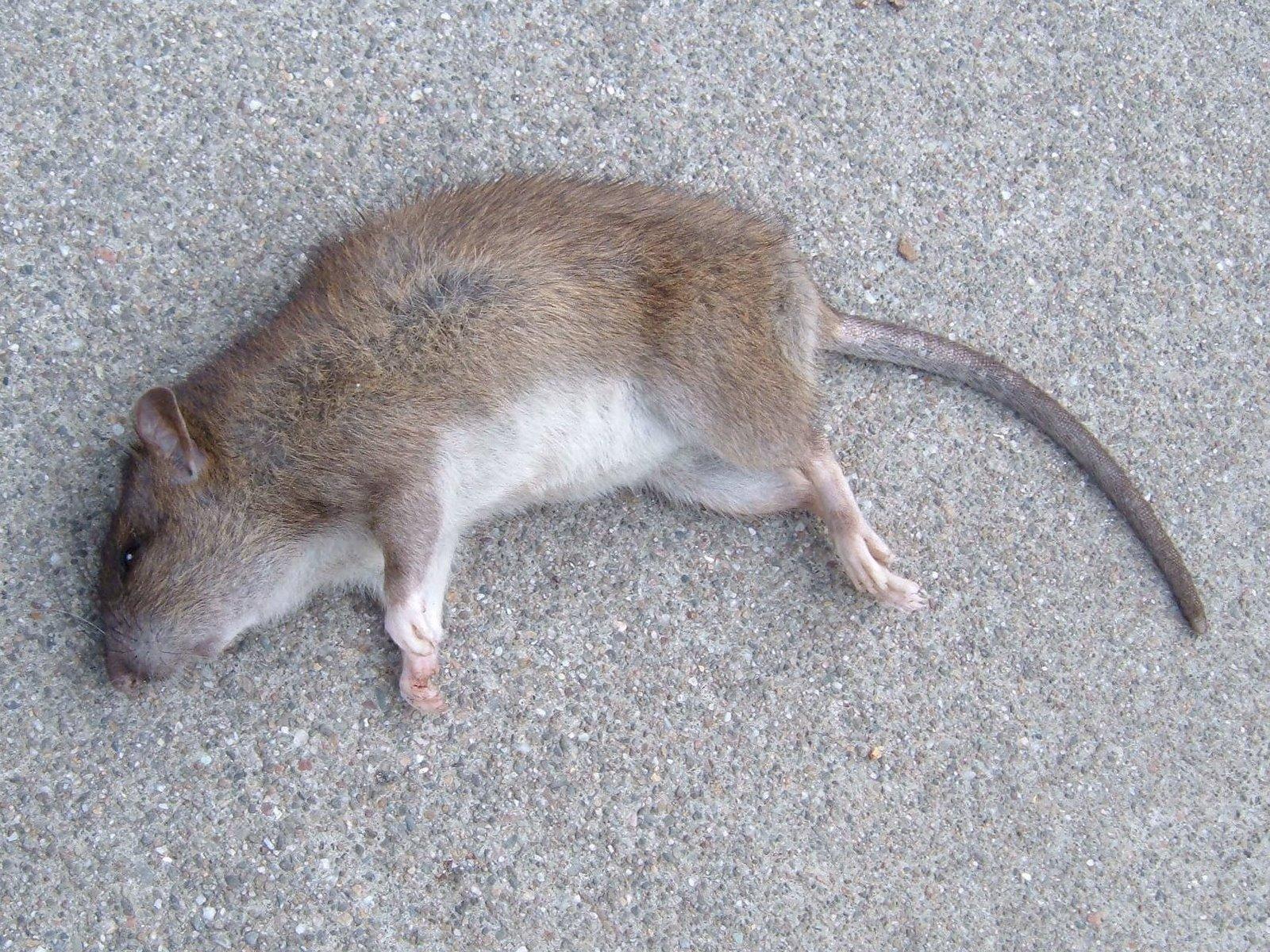 [dead+rat.jpg]