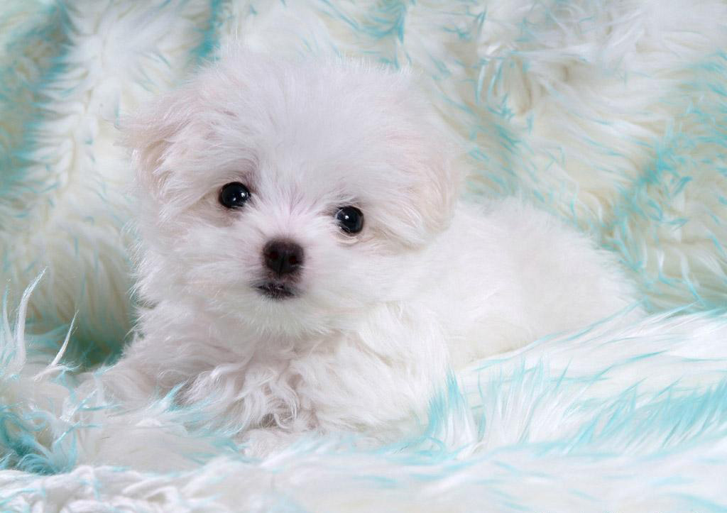 Really Very Cute White Puppies Seductive Girl