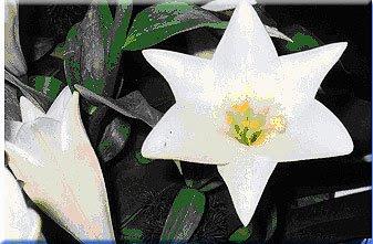 White Lily magen david
