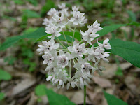 Four-leaf Milkweed
