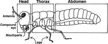 Insect Body Segments together with Hormigas additionally Ac Bc A D Ba Dae A A Fa further Orig additionally Insctexoskel Md. on arthropods worksheet