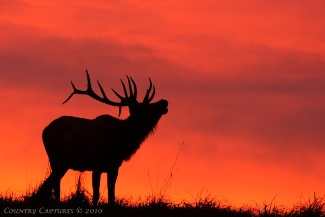 Go Back > Gallery For > Bugling Elk Silhouette