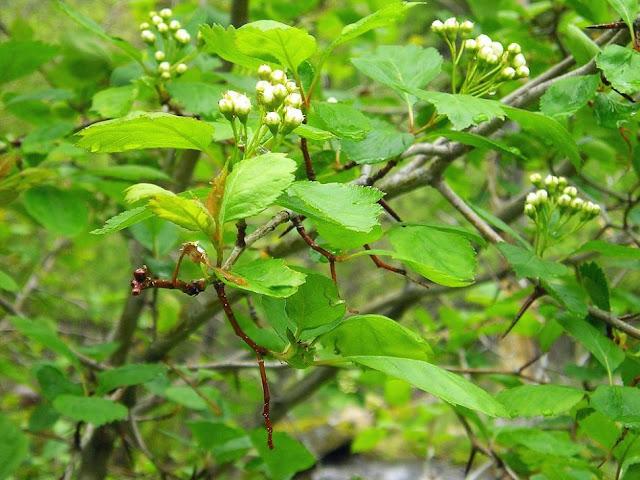 Hawthorn Tree Leaves Hawthorn Tree Leaves And