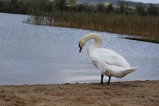 White Swan Symbolism