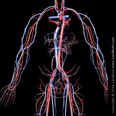 arteries and veins of neck. was the veins and arteries