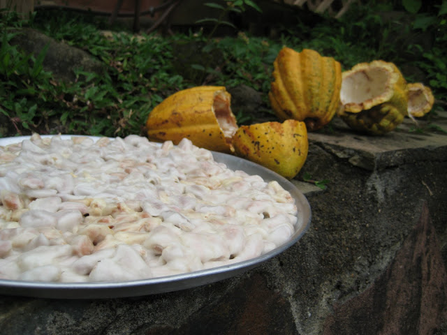 cacao fruit drying