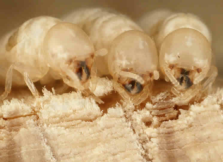 Little Bean Termite (white Ant) Attack. Cork Flooring Kitchen Pros And Cons. Kitchen Floor Cleaning Tips. How To Choose Kitchen Cabinet Color. Wall Decals Kitchen Backsplash. Kitchen Floor Wine Cellar. Kitchen Cabinet Colors For Small Kitchens. Faux Kitchen Countertops. Kitchen Countertop Polish