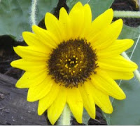 Photo of a sunflower blossom.