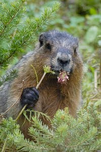 Photo of a groundhog munching on a flower.