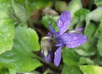 Photo of a purple violet blossom.