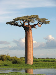 all about baobab: Baobab use goes beyond fruits