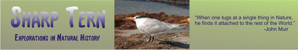 Sharp Tern