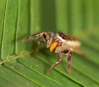 091012 acacia spider 02 Stand Up Moose Plush Pal