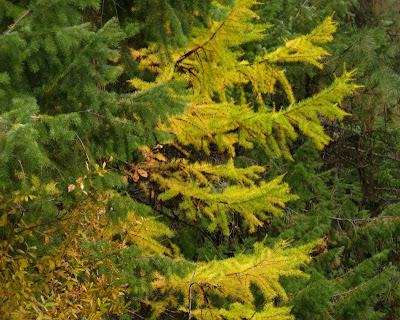 larch3