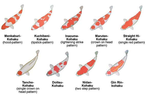 Koifish koi varieties for Koi carp varieties