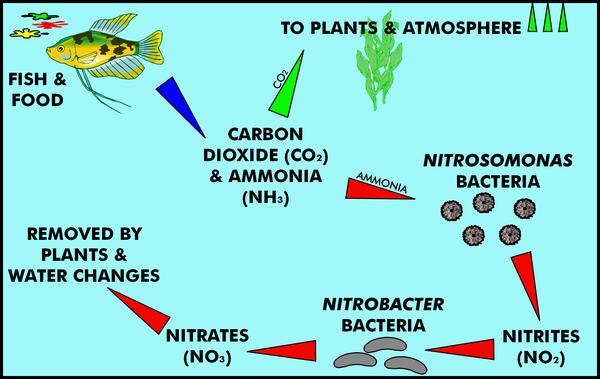Koifish Nitrogen Cycle