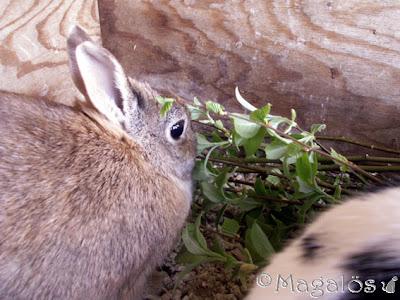 Brun kaninfröken mumsar blad.