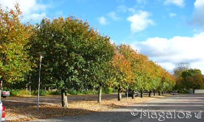 Träd med härliga höstlövsfärger på rad.