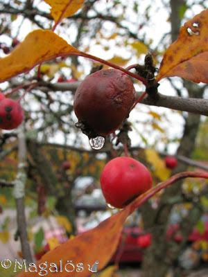 En vattendroppe hänger under ett övermoget paradisäpple. Några få gulnade löv kvar runt omkring.