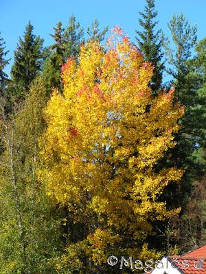 Höstfärgsträd.