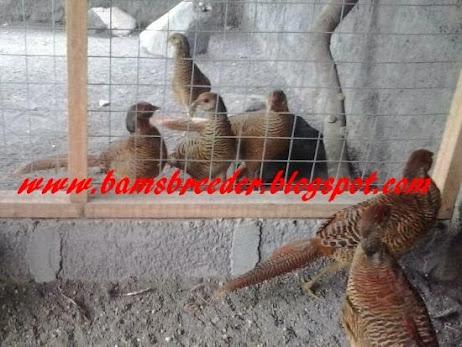 jual anakan ayam golden pheasant