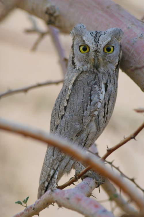 Indian birds - Pallid scops owl - Otus brucei
