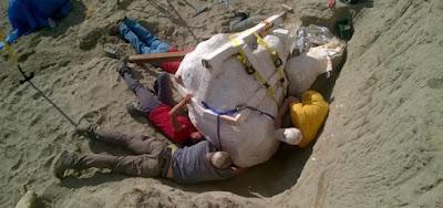 cubren de yeso un cráneo de tiranosaurio hallado en ee.uu.