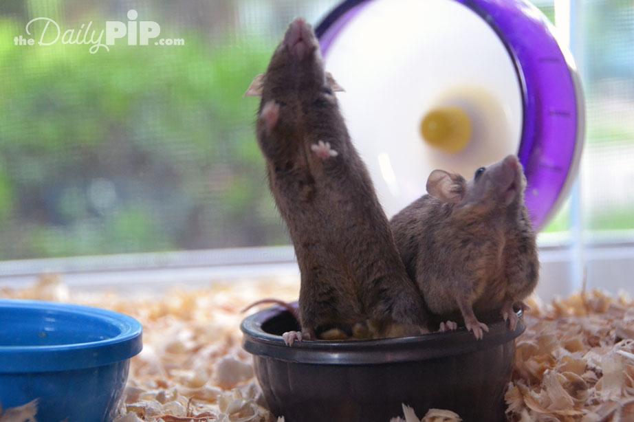 Adopting two female mice