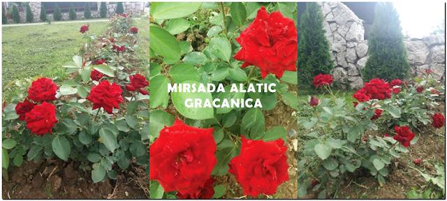 Gračanica: crvene ruže naše Mirsade su nam uljepšale dan