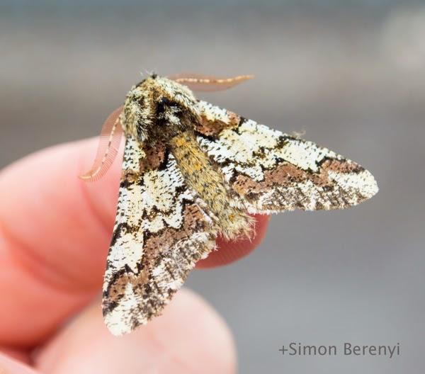 oak beauty moth