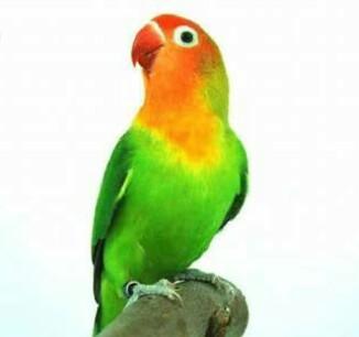 Faktor Penyebab Lovebird Malas Bunyi Dan Cara Mengatasiny